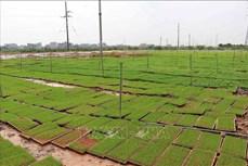 Áp dụng máy cấy vào sản xuất lúa: Cần những cánh đồng lớn