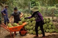 Đắk Lắk: Chủ động các giải pháp thu hoạch và tiêu thụ sầu riêng