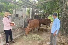 Ninh Thuận xử lý dứt điểm các ổ dịch viêm da nổi cục trên trâu, bò
