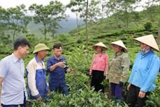 Triển vọng từ mô hình trồng mắc ca xen cây chè ở Yên Bái