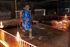 Nông dân Ia Pa điêu đứng vì dịch tả lợn châu Phi