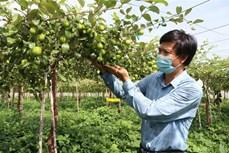 Tăng năng suất, chất lượng cho sản phẩm táo Ninh Thuận