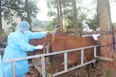 Thái Nguyên khống chế bệnh viêm da nổi cục trên đàn trâu, bò