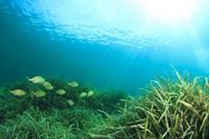 Australia phục hồi thành công loại cỏ biển có nguy cơ tuyệt chủng