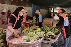 Tín hiệu vui cho tiêu thụ sản phẩm chuối ở Lai Châu