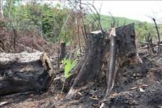 Điều tra vụ phá hơn 5 ha rừng tự nhiên ở Bình Định