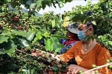 Cây cà phê mang lại hiệu quả kinh tế cao cho người dân Sơn La
