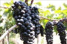 宁顺省着重研发优质酿酒葡萄品种