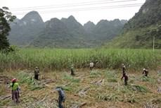 越南对来自泰国的食糖征收反倾销税助推国内制糖企业恢复发展