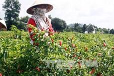 Kiên Giang chuyển gần 25.000 ha đất lúa kém hiệu quả sang trồng cây có giá trị cao