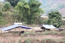 Hơn 100 con gia súc ở Lai Châu bị chết do rét