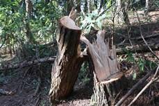 Hàng chục ha rừng phòng hộ trên đèo Pha Đin bị khai thác trái phép