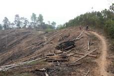 """Báo động thực trạng """"khai tử"""" rừng tái sinh ở huyện Nậm Pồ"""