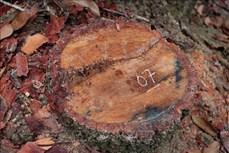 """Vùng lõi rừng đặc dụng Mường Phăng bị """"rút ruột"""", hệ lụy khó lường"""