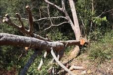"""UBND tỉnh Điện Biên chỉ đạo kiểm tra, xác minh phản ánh vùng lõi rừng đặc dụng Mường Phăng bị """"rút ruột"""""""