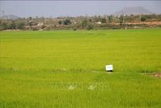 Đắk Nông thanh tra việc quản lý, sử dụng đất trồng lúa tại 2 huyện trọng điểm
