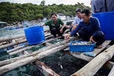 Phát triển nghề nuôi cá lồng bè Thổ Châu