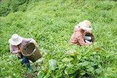 Người dân vùng cao Điện Biên phát triển cây bí xanh theo hướng hàng hóa