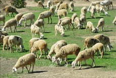 Nâng tầm thương hiệu sản phẩm cừu Ninh Thuận