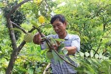 Người dân xã Bồ Lý làm giàu từ cây na dai