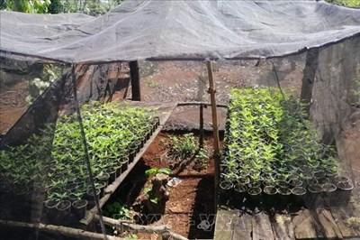 Mở rộng điều tra, xử lý các đối tượng trồng và tiêu thụ cây cần sa quy mô lớn tại Đắk Lắk
