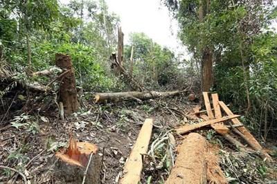 Gia Lai phát hiện vụ phá rừng quy mô lớn với hàng trăm cây gỗ quý hiếm bị triệt hạ