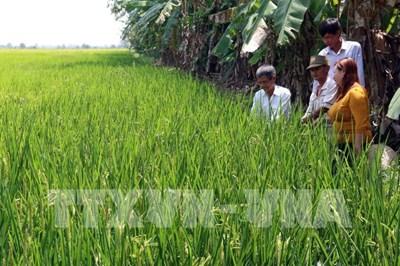 Hiệu quả từ mô hình khuyến nông tiên tiến trên cây lúa ở Kiên Giang
