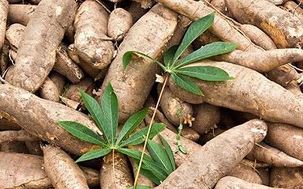 印尼每年可出口到欧盟16.5万吨木薯 hinh anh 1