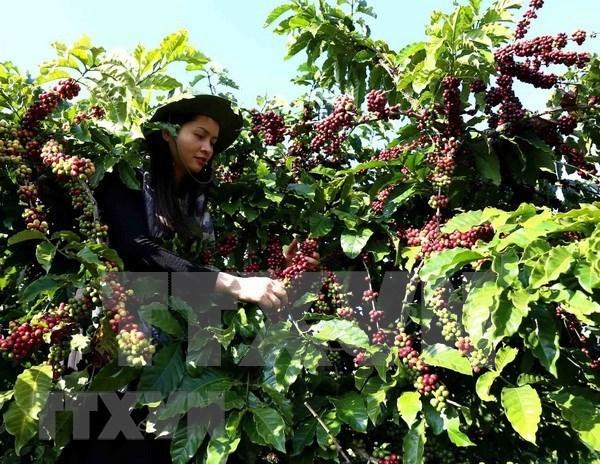 越南咖啡出口有望在2021年见起色 hinh anh 1
