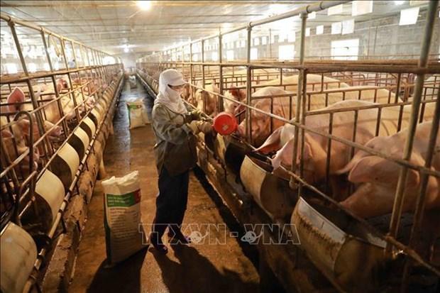 越南将于今年第三季度初将开始商业生产非洲猪瘟疫苗 hinh anh 1
