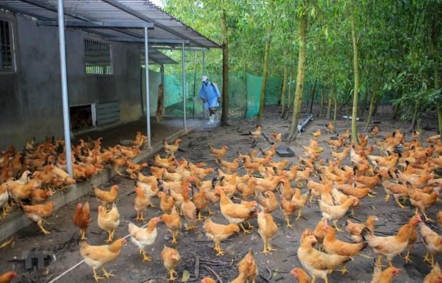 世界卫生组织称H5N8型禽流感病毒可传播到人 hinh anh 1