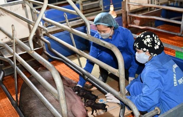 越南首次成功培育出体细胞克隆家猪 hinh anh 1