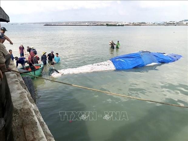 平顺省:将在海上死亡的鲸鱼送上岸埋葬 hinh anh 1