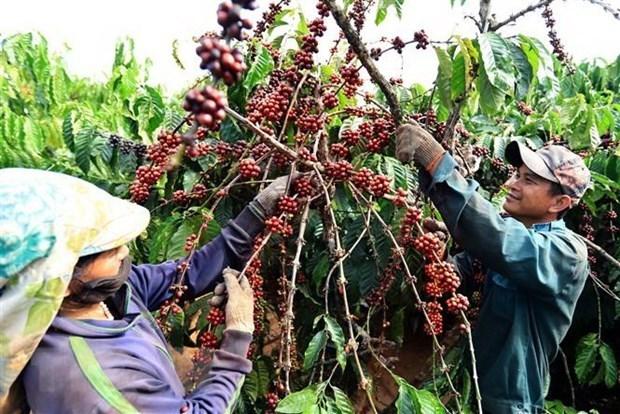 2021年上半年越南咖啡对英出口额达2900万美元 hinh anh 1