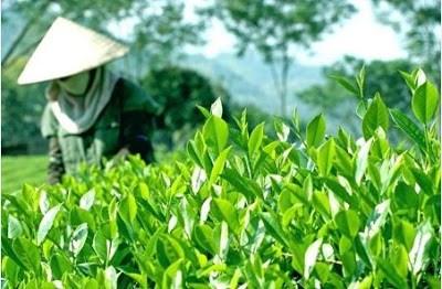 到2025年越南全国满足安全标准的茶叶种植面积达到55% hinh anh 1
