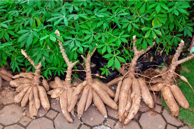 2021年前三个月越南木薯出口市场发展向好 hinh anh 1