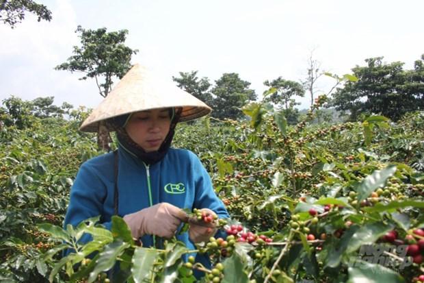 广治省的阿拉比卡咖啡产品在2021年越南特产咖啡比赛中荣获第一名 hinh anh 1