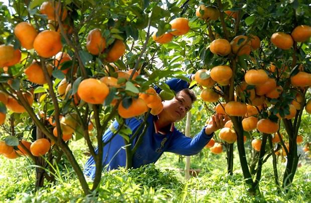 九龙江三角洲地区将果树种植面积扩大15万公顷 hinh anh 2