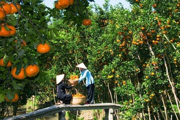 九龙江三角洲地区将果树种植面积扩大15万公顷 hinh anh 1