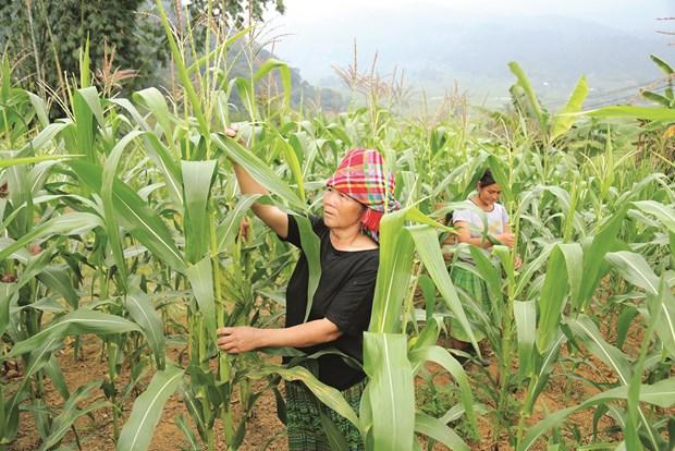 安沛省站奏县积极实现农作物种植结构调整 hinh anh 1
