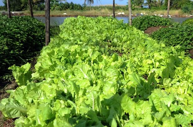 金瓯省富新县农作物种植模式取得高效 hinh anh 2