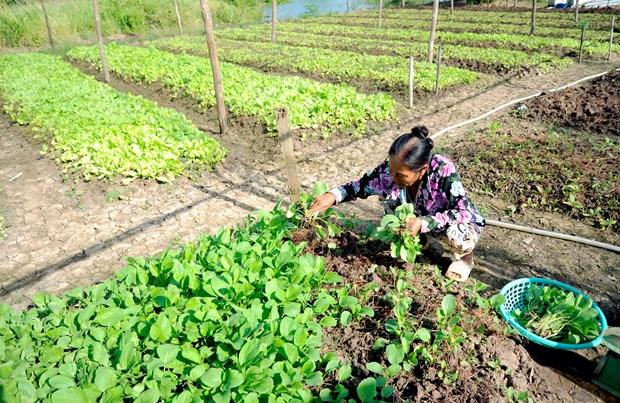 金瓯省富新县农作物种植模式取得高效 hinh anh 1