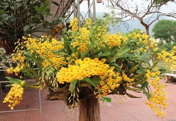 清香宜人的莱州兰花吸引大量参观者驻足观看 hinh anh 2
