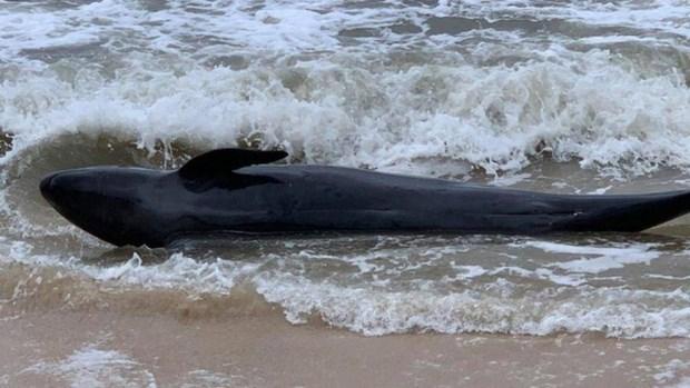 富安省:重达300公斤的鲸鱼冲上遂和海岸 hinh anh 1