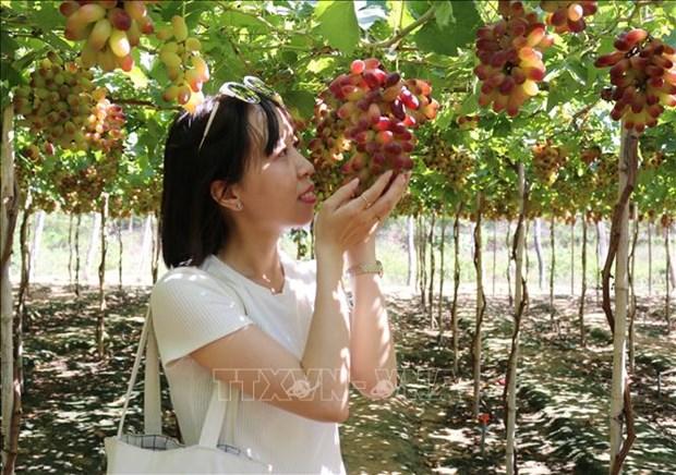 Ninh Thuan tao buoc dot pha, thuc day du lich nong nghiep phat trien ben vung hinh anh 1