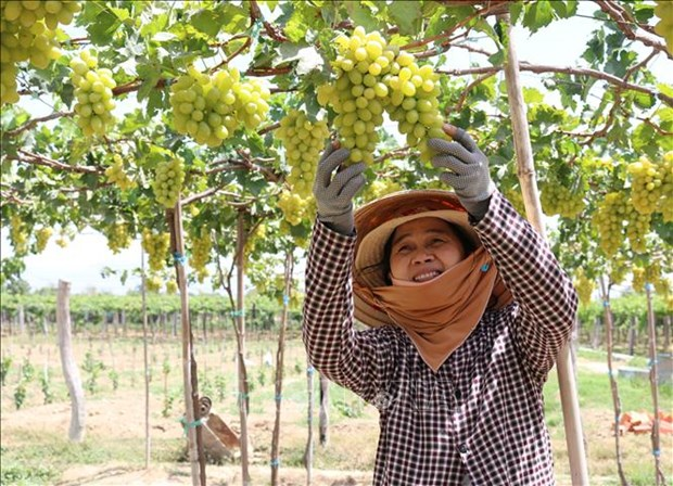Nong dan Ninh Thuan chuyen doi co cau cay trong tang hieu qua kinh te hinh anh 2