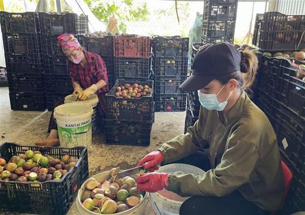 Quang Tri phat trien vung san xuat chanh leo phuc vu xuat khau hinh anh 4