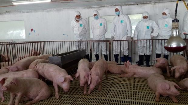 越南20个省市再次爆发非洲猪瘟疫情 hinh anh 2