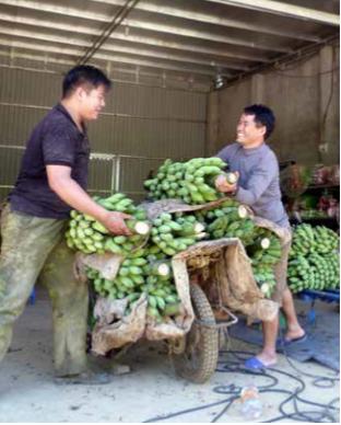发展芭蕉种植业 力求取得较好经济效益 hinh anh 2