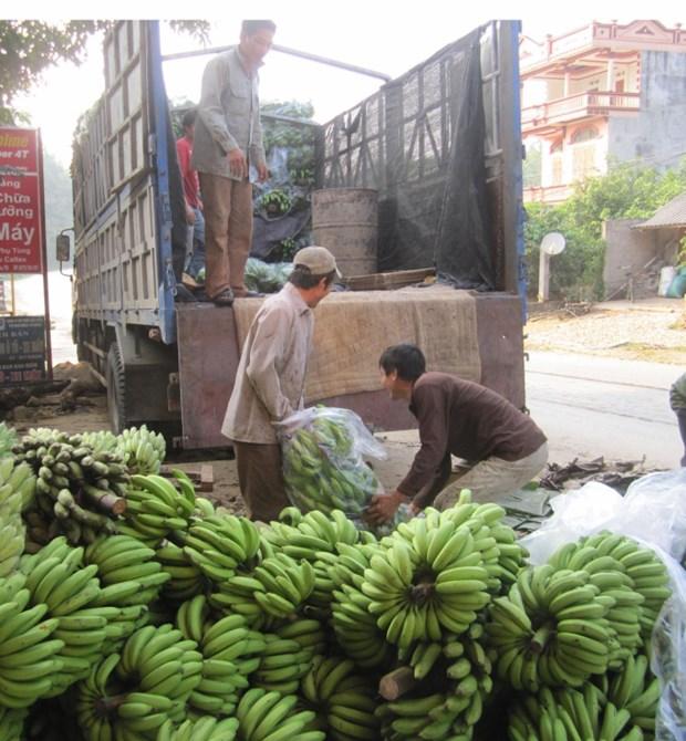 发展芭蕉种植业 力求取得较好经济效益 hinh anh 3
